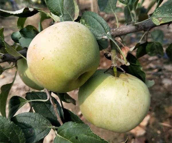 彬县苹果苗瑞香红苹果苗销售价格