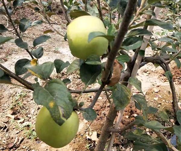长葛市1公分土岐苹果苗优势介绍 2公分水蜜桃苹果苗销售批发
