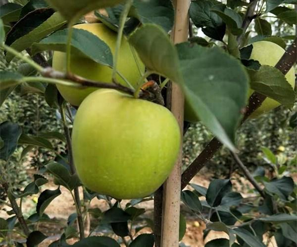 饶河瑞阳苹果苗1公分苹果苗价格