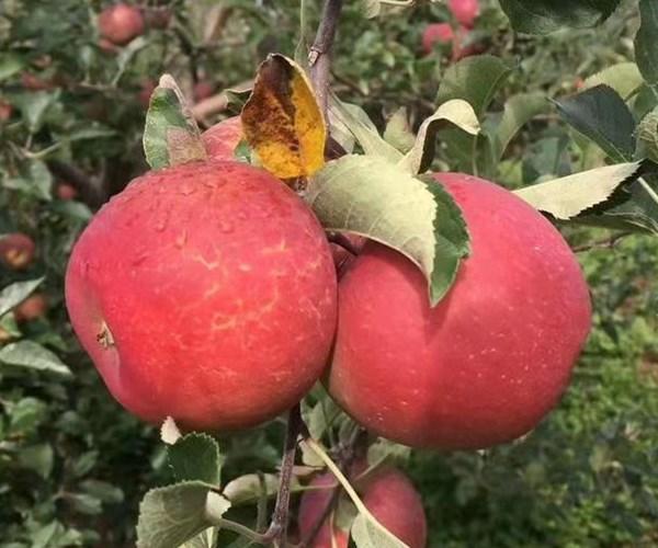 德钦县1公分苹果苗栽植基地 2公分苹果苗行情报价