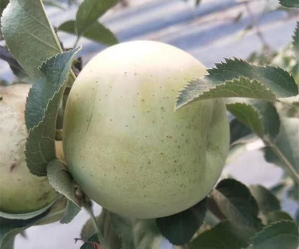 5公分苹果苗亩产万斤、6公分苹果苗地头价格吉林欢迎您