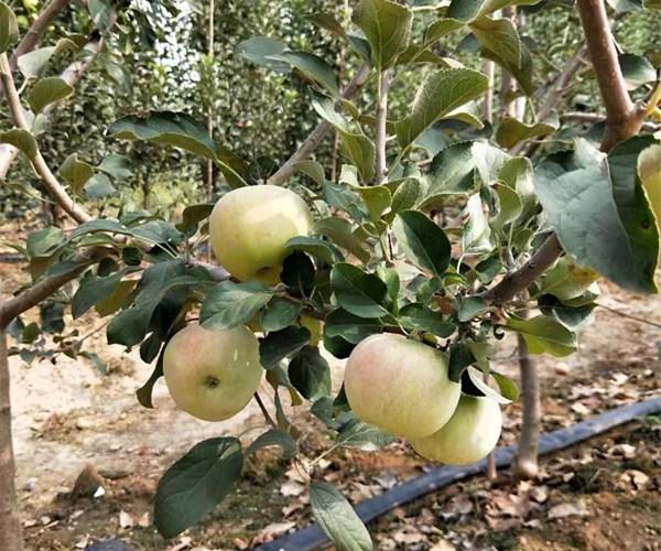 5公分苹果苗多少钱一棵-6公分苹果苗起苗价格吉林欢迎您
