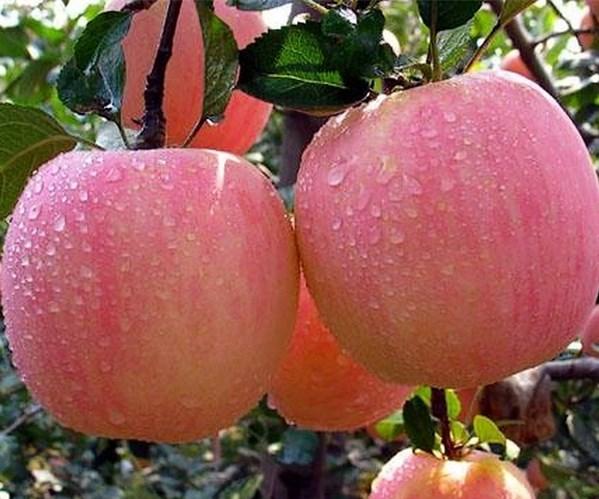 桥东瑞阳苹果苗瑞香红苹果苗价格批发