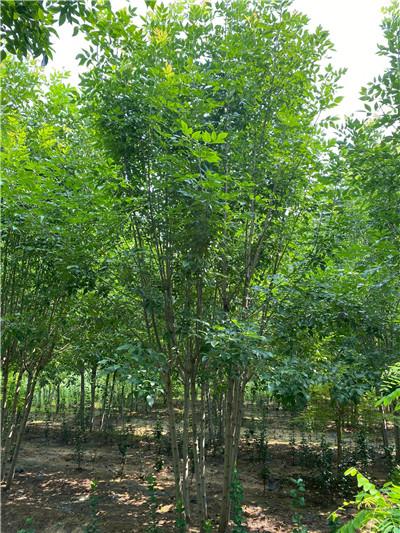 长沙雨花5米造型景观松现货供应量足