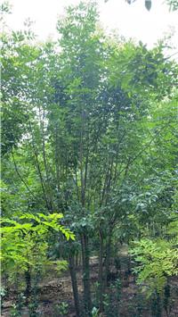 信阳新县4米造型景观松市场价格价格合理
