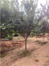汝阳15公分樱花种植基地电话-地址苗圃