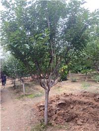 九江湖口3米造型景观松产地报价苗圃