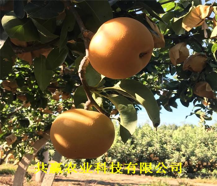 哪里有嫁接梨树苗、淄博嫁接梨树苗主产区报价