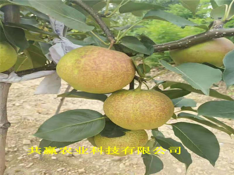 哪里有6月熟梨树苗、河南商丘6月熟梨树苗期报价