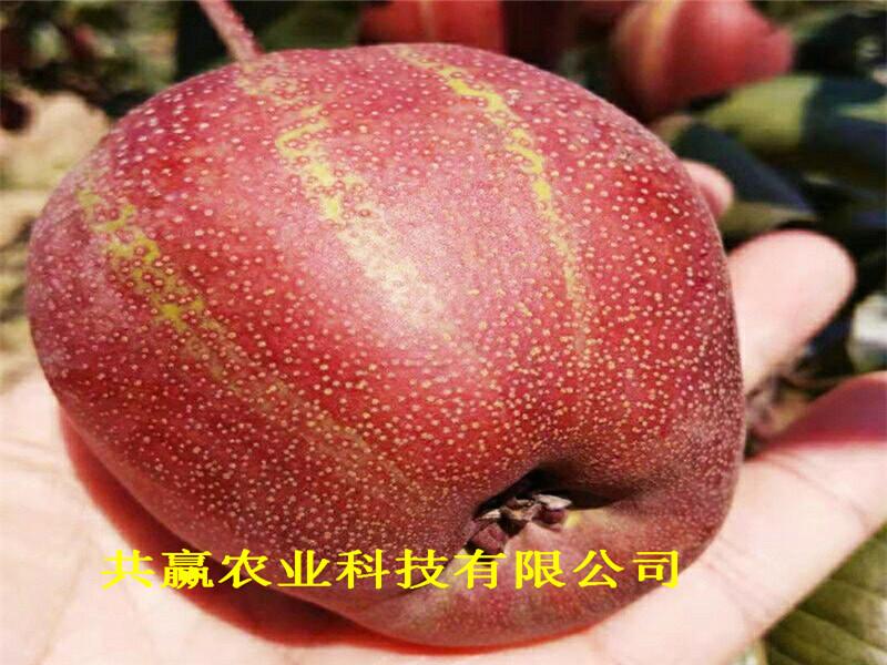 山东济宁2-3年晚熟梨树苗多少钱一棵