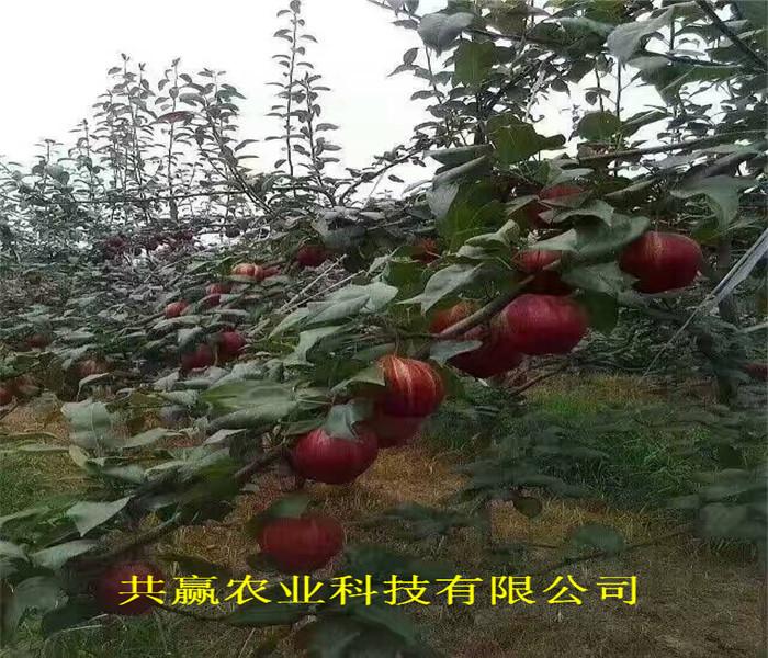 安徽亳州全红梨树苗送货报价