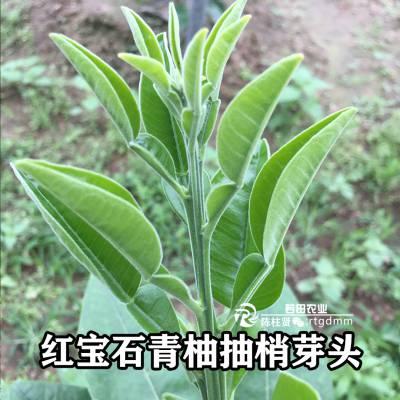 福建福州泰国红宝石青柚苗2020年价格行情