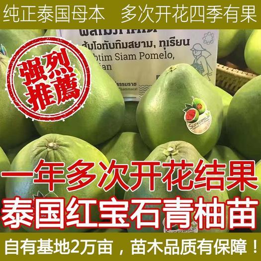 郴州桂阳福建平和正达泰国红宝石青柚苗一棵多少钱