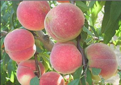 德州吉祥红桃苗供应