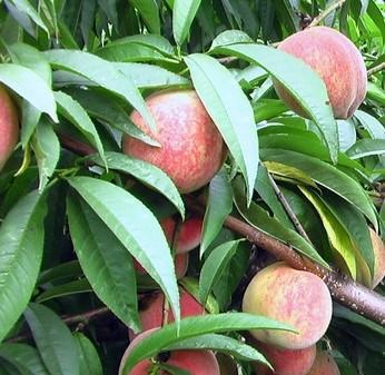阿里吉祥红桃苗品种