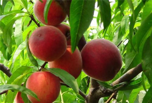 北京吉祥红桃苗品种
