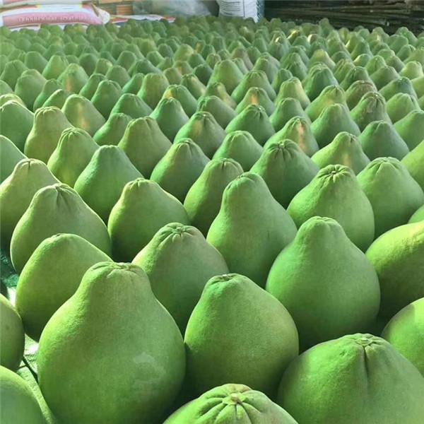 安岳哪里有出售/卖/泰国红宝石青柚苗