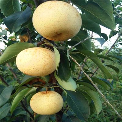 红香酥梨苗联系电话-红香酥梨苗品种介绍