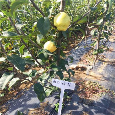 翠晶梨树苗报价列表-翠晶梨树苗育苗基地