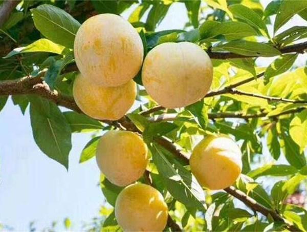 大理白族自治州3公分味帝李子苗种植要点 2公分李子苗货源地