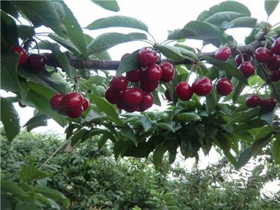 葫芦岛矮化樱桃苗经销商