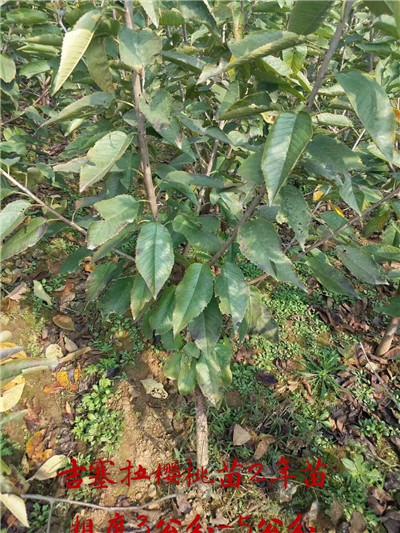 鹤岗吉塞拉矮化樱桃苗种植基地