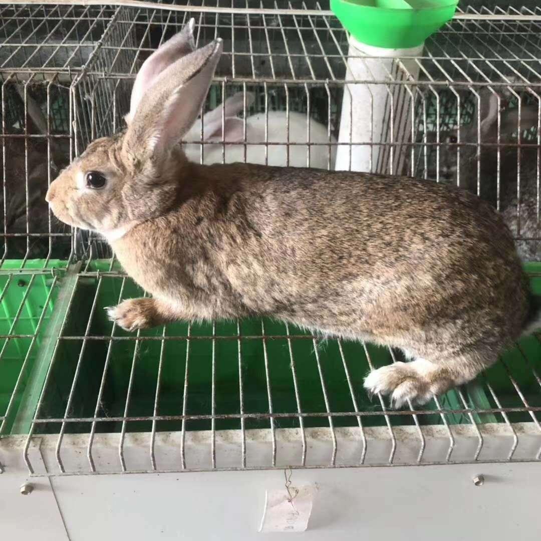 锦州北镇哪里有卖比利时种兔的