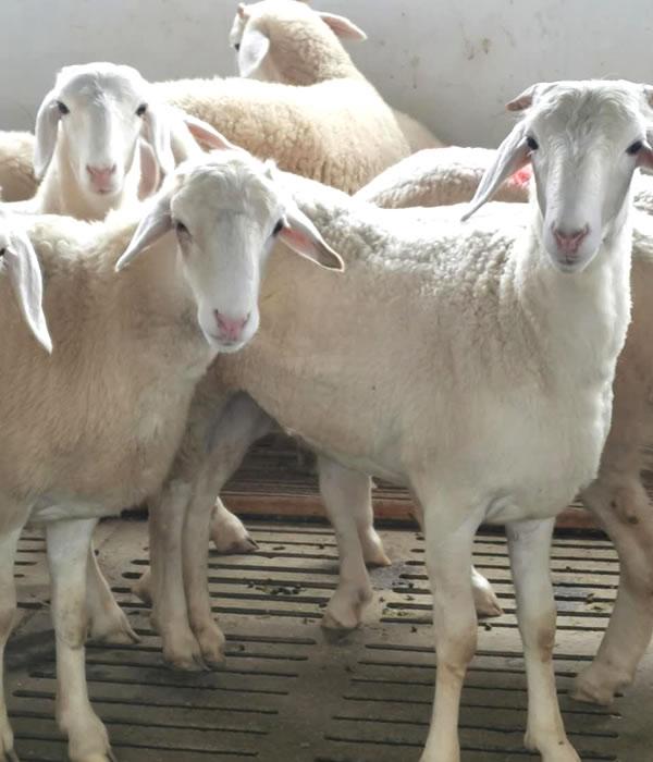 七台河市适合养什么品种的羊