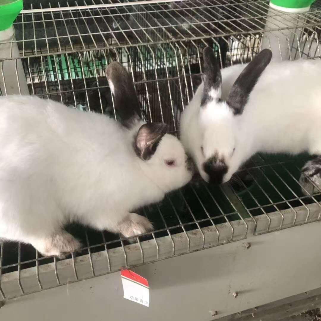 东兰比利时种兔价格多少钱一个?