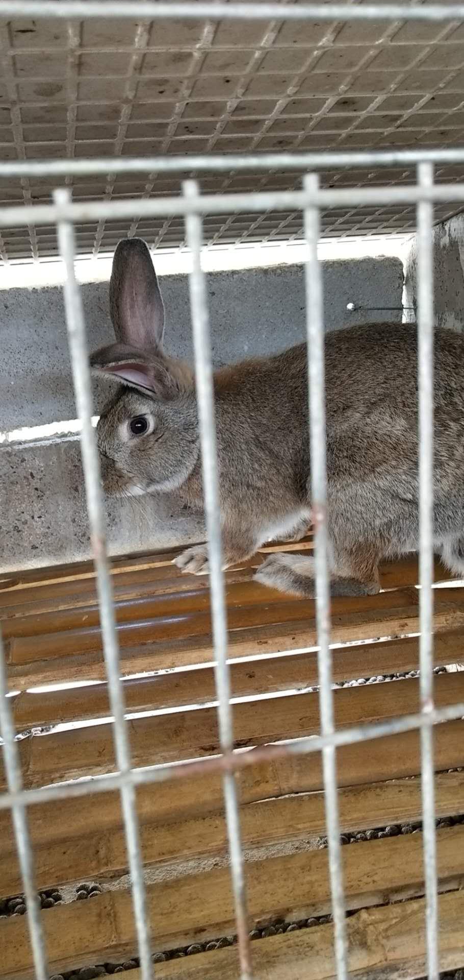 岳麓比利时种兔价格多少钱一个?