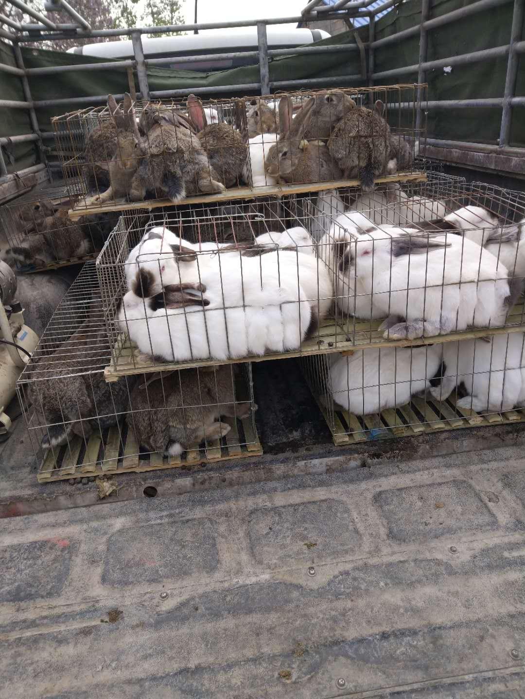 邯郸鸡泽比利时种兔价格多少钱一个?