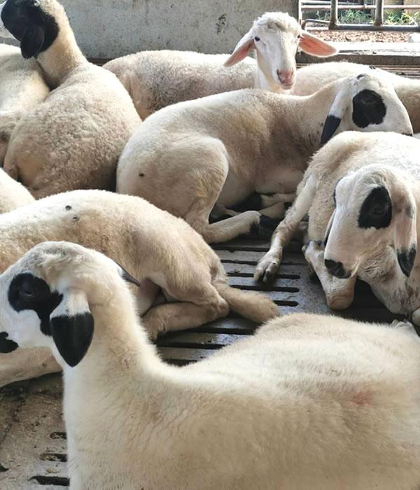 东山区哪里有卖杜寒杂交羊的