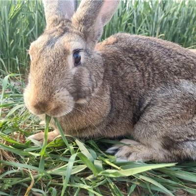 西固哪里有卖种兔的吗