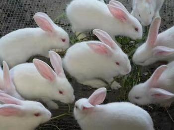 株洲炎陵湖南哪里有卖比利时种兔的