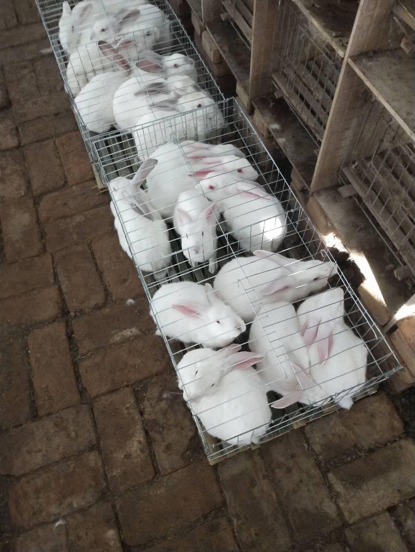 山海关哪里有卖比利时种兔的