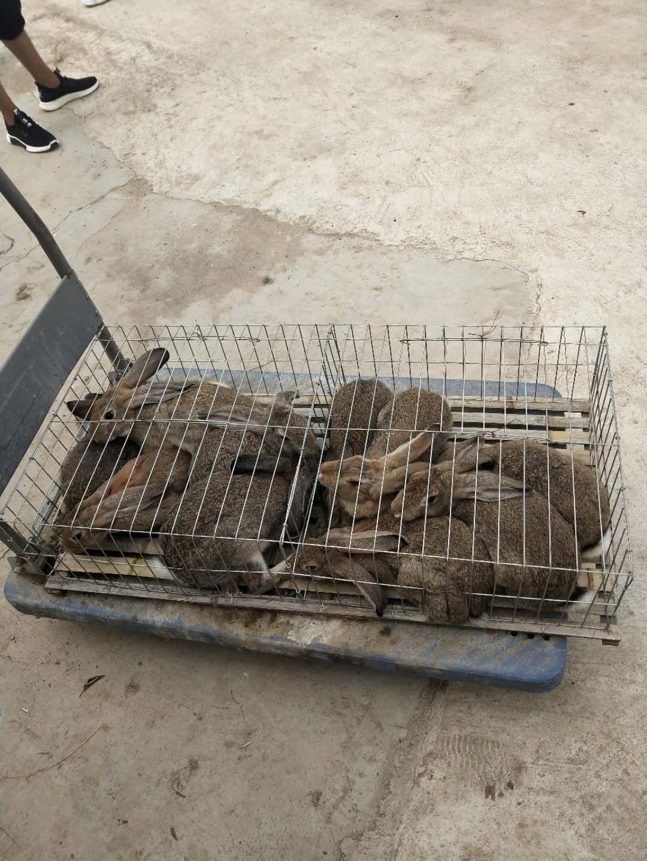 志丹哪里有卖种兔的吗