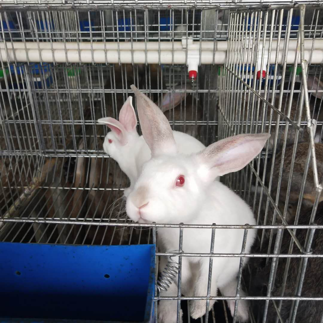 潍坊潍城种兔价格多少