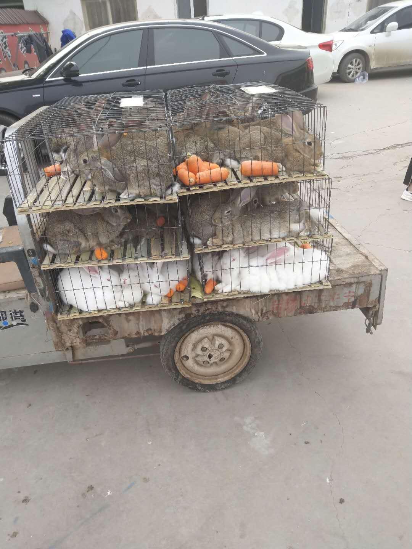 蒙城种兔价格多少