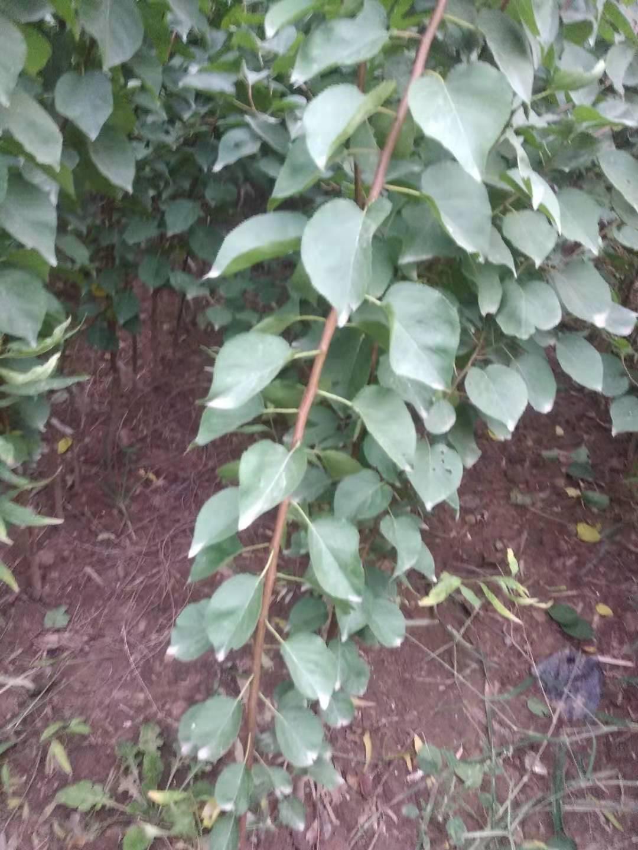 三门峡什么地方有黄皮梨树苗适合种植