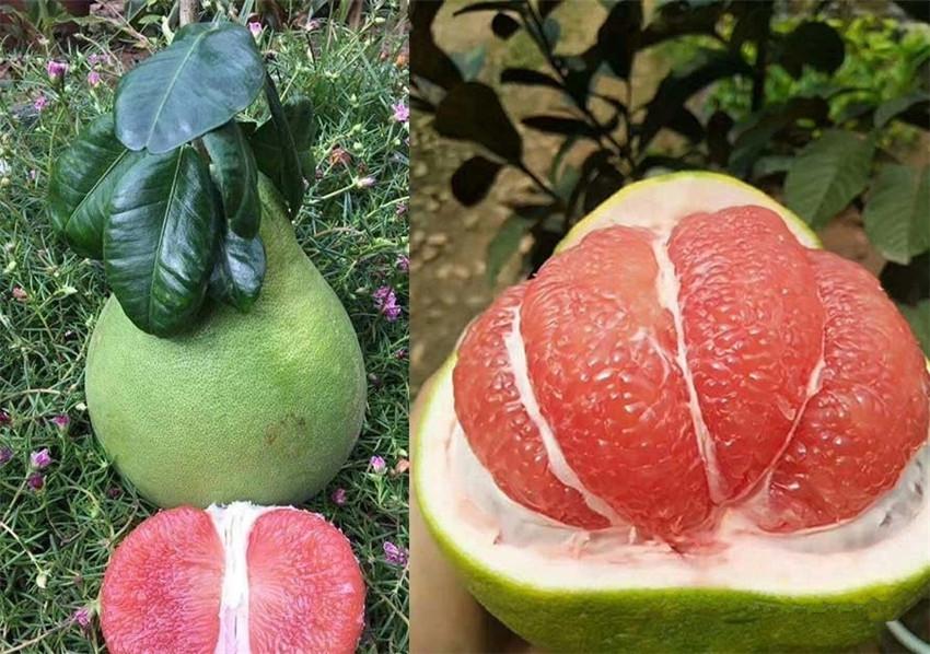 郁南泰国红宝石青柚苗售卖种植