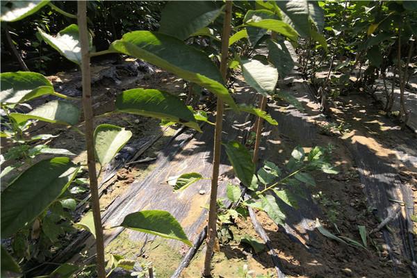 杭州滨江红手球樱桃苗亩产种植量