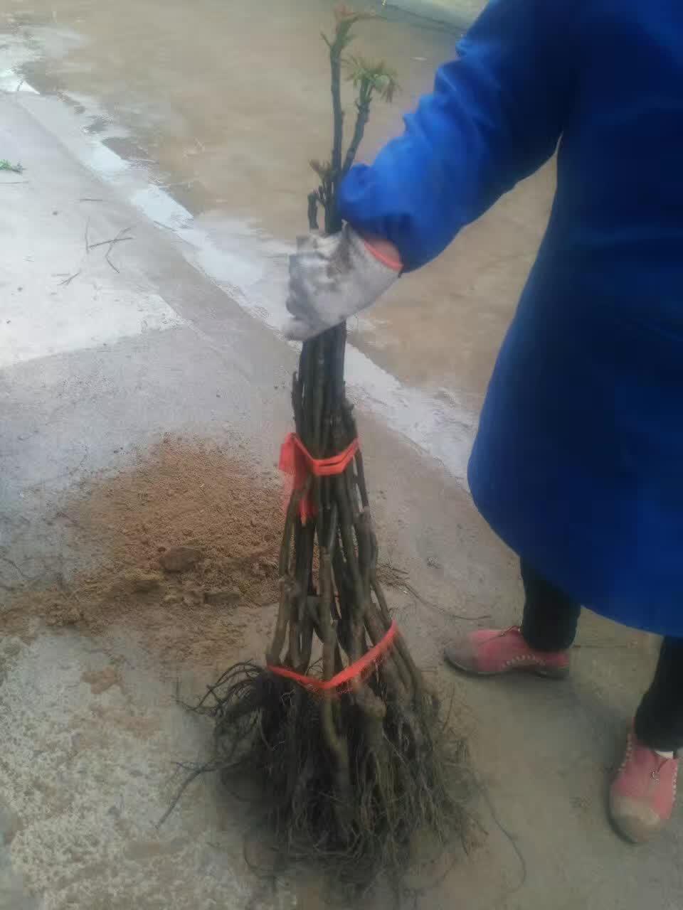鹤壁浚县哪里有早熟新品种梨树苗大面积种植