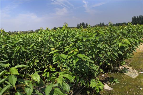 山东滨州的砂蜜豆樱桃苗 种植方法