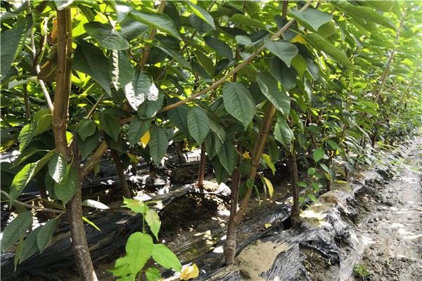 山东滨州哪有斯帕克里樱桃苗 装车图片