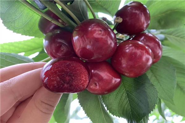果树苗出售丨樱桃苗当年挂果
