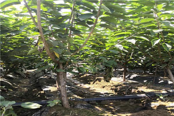 蕲春樱桃苗种植时间