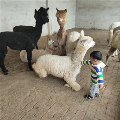 丽江小羊驼养殖方法-牧海养殖
