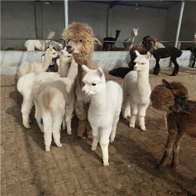 阜新观赏羊驼养殖注意事项