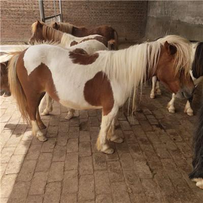惠州宠物矮马出租价格