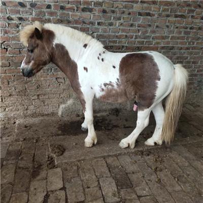 青海景区骑乘矮马什么地方出售